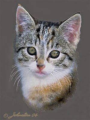 Tabby  Kitten An Original Painting For Sale Poster by Bob and Nadine Johnston