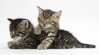 Tabby Kittens Dozing Poster by Mark Taylor