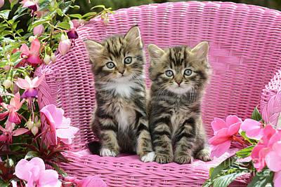 Tabby Kittens Poster by Greg Cuddiford