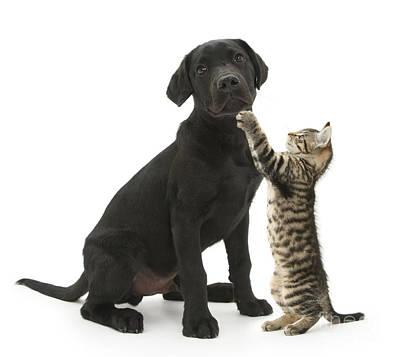 Tabby Male Kitten & Black Labrador Poster