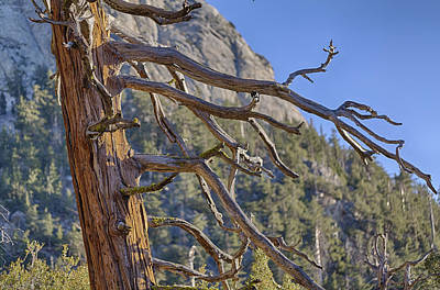 Tahquitz And The Pine Poster