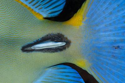 Tail Spike Of Surgeonfish Poster by Science Photo Library