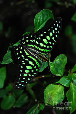 Tailed Jay Butterfly Poster by Eva Kaufman