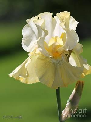 Tall Bearded Iris Named Again And Again Poster