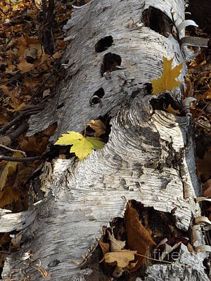 Tall Fallen Birch With Leaves Poster