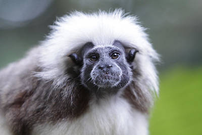 Poster featuring the photograph Tamarins Face by Shoal Hollingsworth