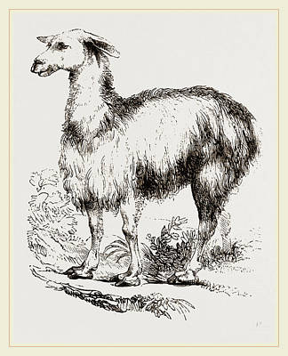 Tame Llama White Poster by Litz Collection