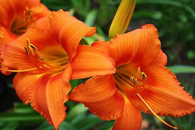 Poster featuring the photograph Tangerine Lush Daylily 2 by Bruce Bley