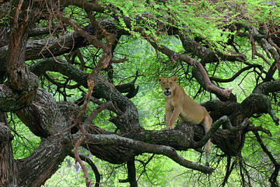 Tanzania African Lioness Rests On Tree Poster