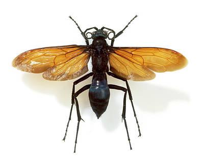 Tarantula Hawk Wasp Poster by Natural History Museum, London
