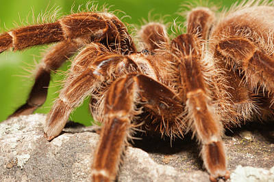 Tarantula On Rocks Poster by Piperanne Worcester