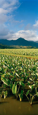 Taro Crop In A Field, Hanalei Valley Poster by Panoramic Images