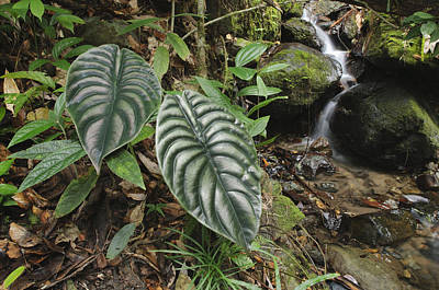 Taro Leaves In Rainforest Sabah Borneo Poster by Ch'ien Lee
