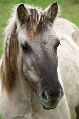 Tarpan Horse Poster by Bob Gibbons
