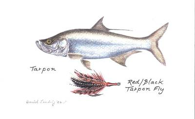 Tarpon And Red Black Tarpon Fly Poster by Daniel Lindvig