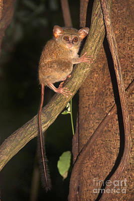 Poster featuring the photograph Tarsius Tarsier  by Sergey Lukashin