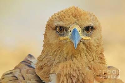 Tawny Eagle - Focus Poster by Hermanus A Alberts