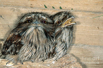 Tawny Frogmouths Poster by Gregory G. Dimijian, M.D.