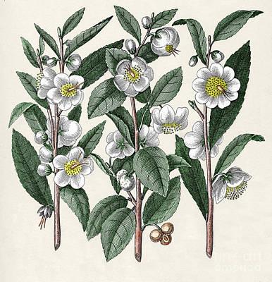 Tea Camellia Sinensis Poster