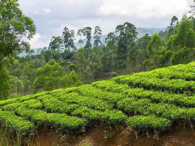 Tea Plants On Hillside Seen Poster by Panoramic Images