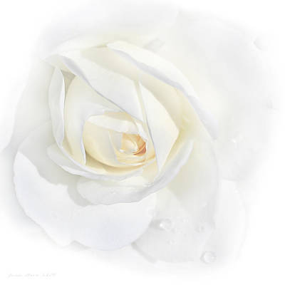 Tears White Rose Flower Poster by Jennie Marie Schell