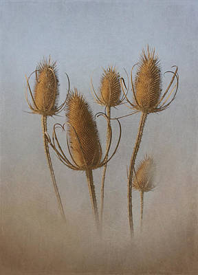 Teasel Poster by Angie Vogel