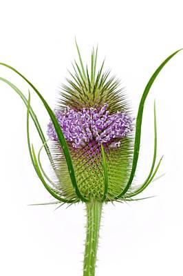 Teazel (dipsacus Fullonum) In Flower Poster