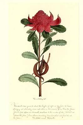 Telopea Speciosissima, 18th Century Poster