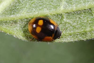 Ten-spot Ladybird Poster