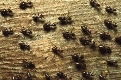 Termites On Wood With One Carrying Poster