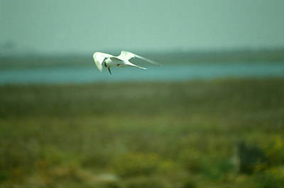 Poster featuring the photograph Tern In Flight by Bonnie Muir