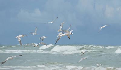 Terns In Flight Poster