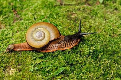 Terrestrial Snail Hemipletca Floweri Poster