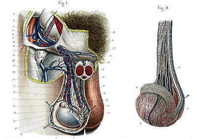 Testicle Anatomy Poster