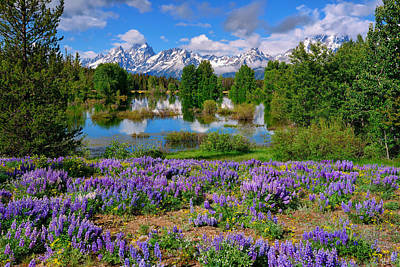 Teton Spring Lupines Poster by Greg Norrell