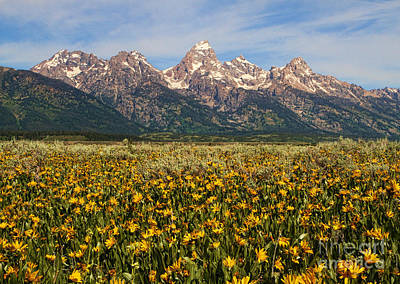 Tetons And Yellow Poster
