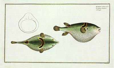 Tetrodon Ocellatus (takifugu Ocellatus) Poster by Natural History Museum, London