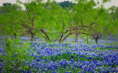 Poster featuring the photograph Texas Bluebonnets - Texas Bluebonnet Wildflowers Landscape Flowers by Jon Holiday
