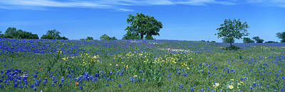 Texas Bluebonnets Lupininus Texensis Poster by Panoramic Images