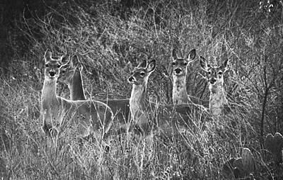 Texas Deer Poster