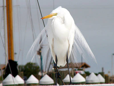 Poster featuring the photograph Texas Gulf Coast Great White Egret by Linda Cox