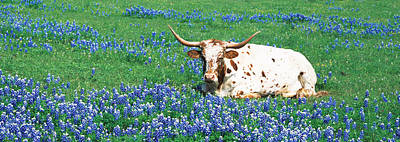 Texas Longhorn Cow Sitting On A Field Poster by Panoramic Images