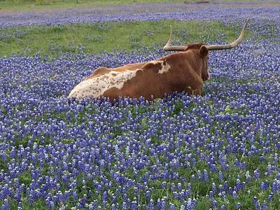 Texas Longhorn In Bluebonnets Poster by Colleen Dyer