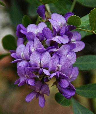 Texas Mountain Laurel Poster