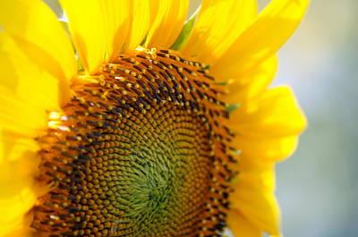 Texas Sunflower Poster