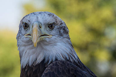 Poster featuring the photograph The American Eagle by Jeanne May