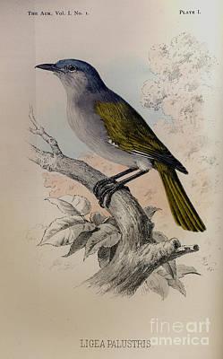 The Auk -  Ligea Palustris Poster