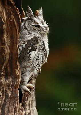 The Awakening Eastern Screech Owl Poster