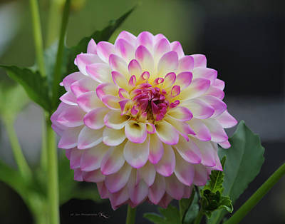 The Beautiful Dahlia Poster by Jeanette C Landstrom