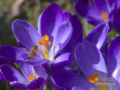 The Bee And The Crocus Poster by Sharon Talson